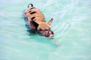 swimming pig bahamas one2create 300x200 - 50 Top Tips to Improve your Copywriting
